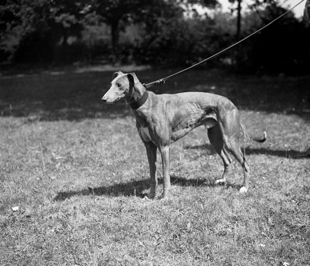 Brindle Greyhound 'Mick The Miller'