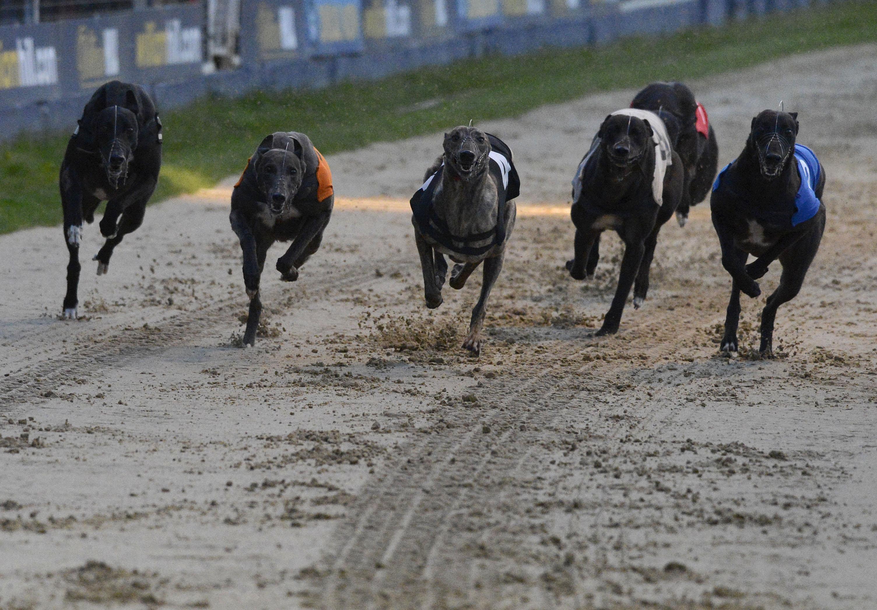 Greyhound st leger bettingadvice real world sports betting